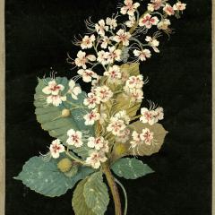 Image: Mary Delany,Aeschelus Hippocastanum (Heptandria Monogynia), 1776.
