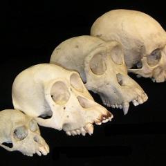 Primate skull series